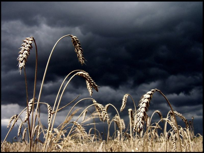 Die letzten Getreidefelder