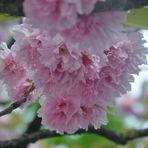 Die letzten rosa Blüten fallen bald