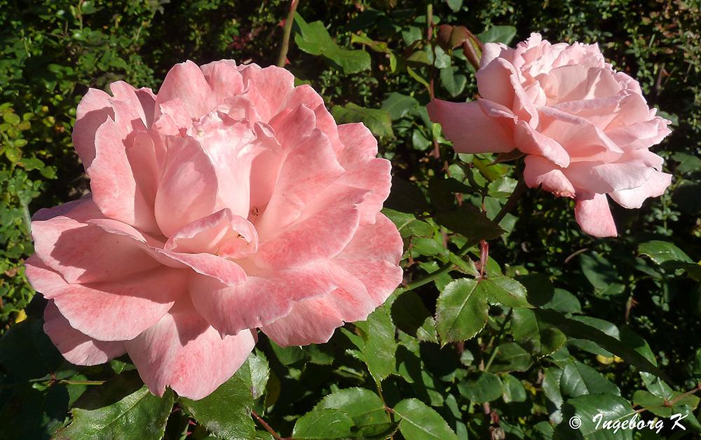 Die letzten Rosen ?