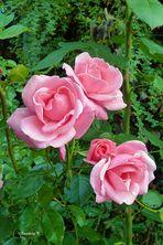 Die letzten Rosen????