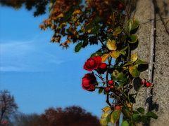 Die letzten Rosen...
