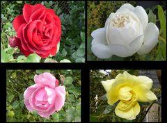 Die letzten Rosen in meinem Garten - gestern aufgenommen