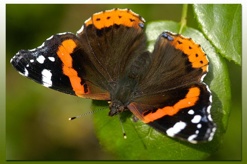die letzten Schmetterlinge