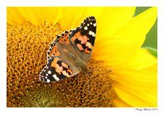 Die letzten Schmetterlinge.....