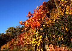 Die letzten schönen Weinblätter am Weinberg Wanderweg