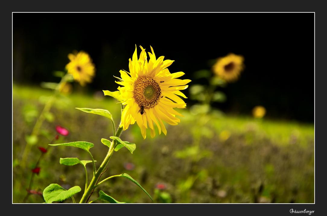 Die letzten Sommerblumen