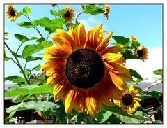 Die letzten Sonnenblumen