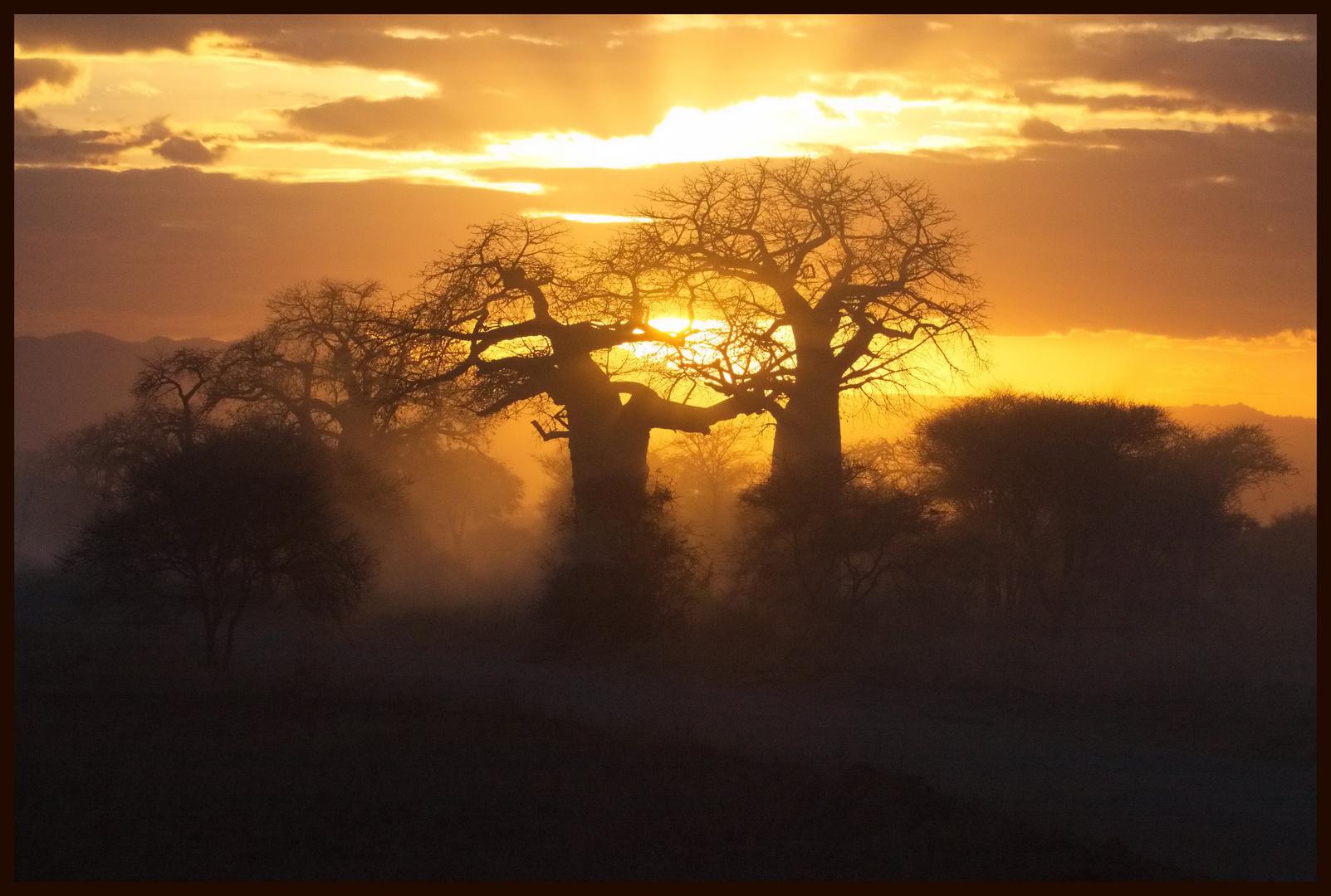 Die letzten Strahlen auf den Baobab-Bäumen