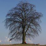 Die letzten Tage des Baums ...