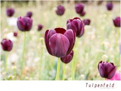 die letzten Tulpen