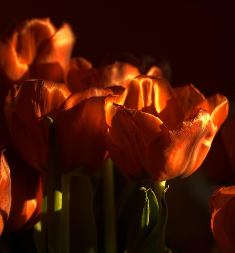 Die letzten Tulpen im Abendlicht