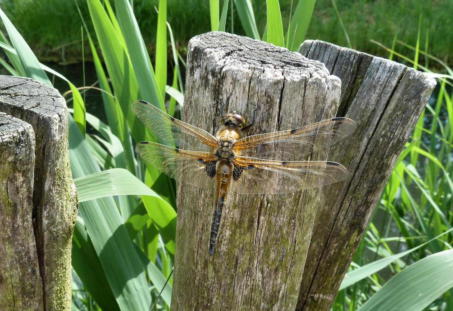 Die Libelle...