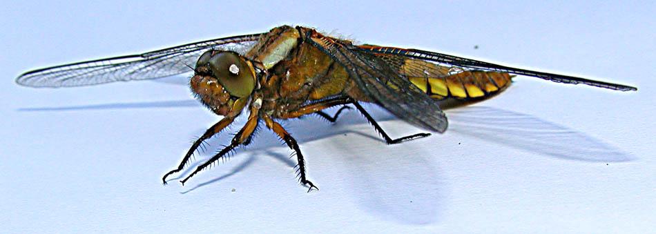 Die Libelle **6**