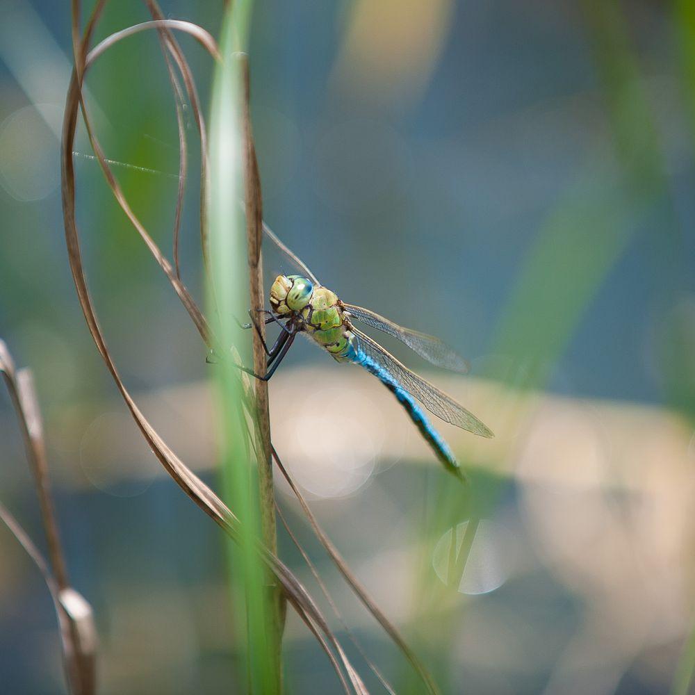 Die Libelle am Teich
