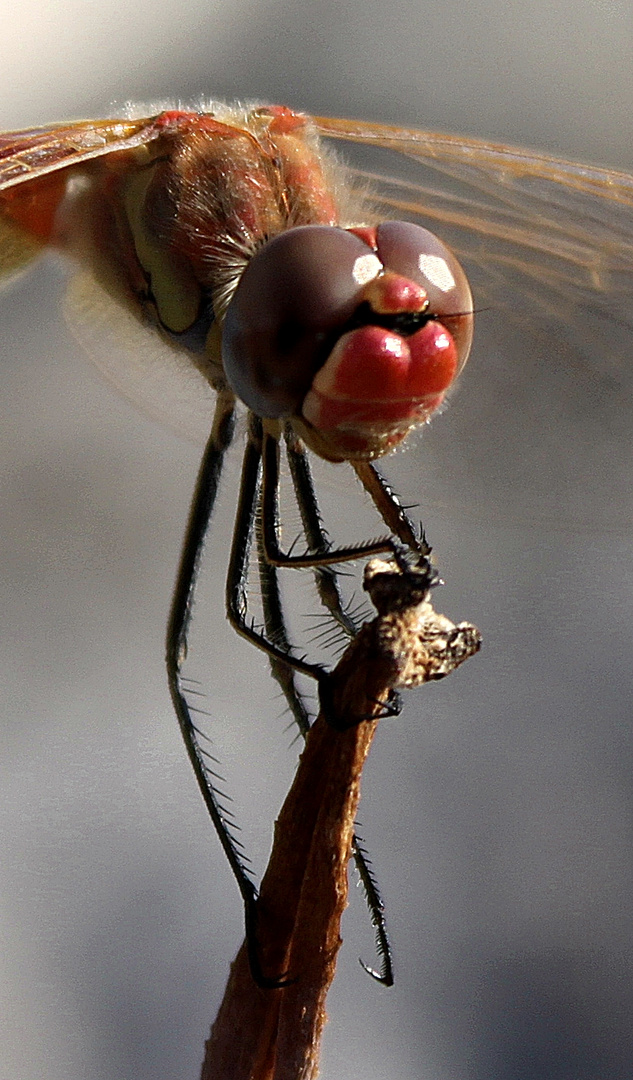 Die Libelle