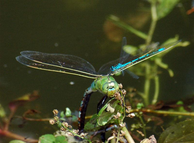 Die Libelle die ich fand.. oh, sind ja zwei...