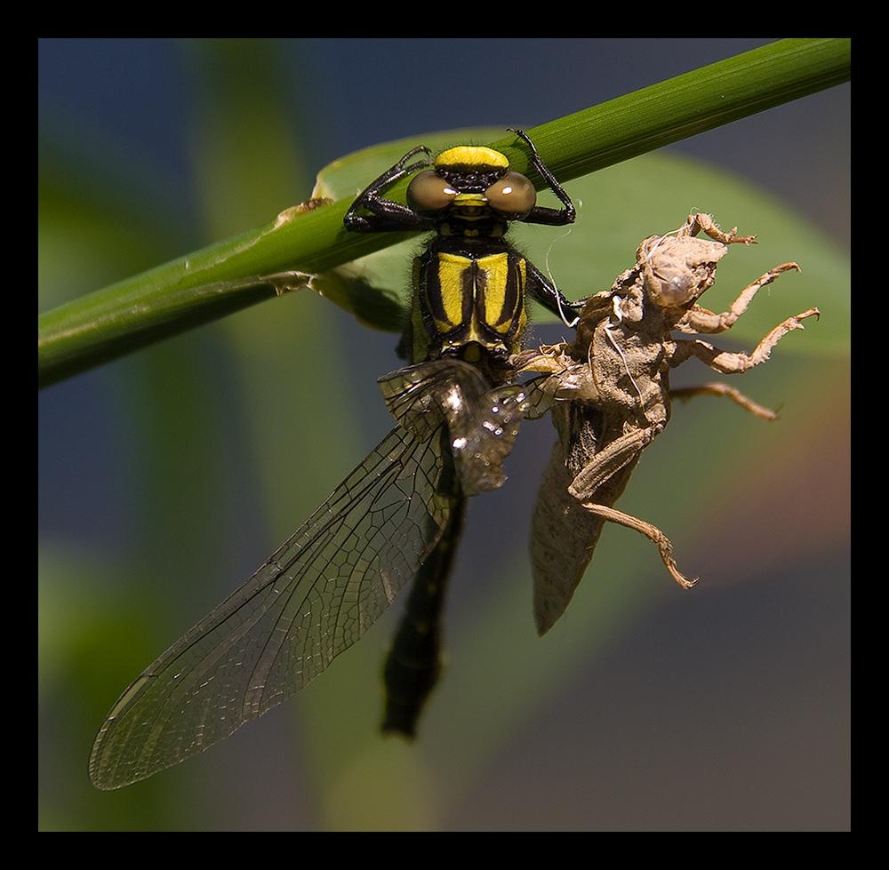Die Libelle wird entlarvt
