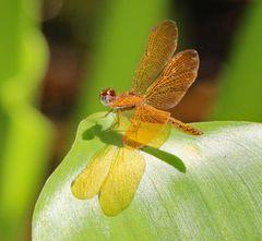 Die Libellengattung Erythrodiplax ....