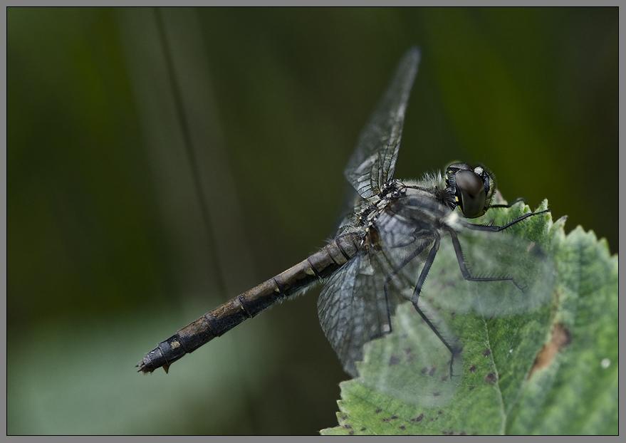 die libellenmakrosaison