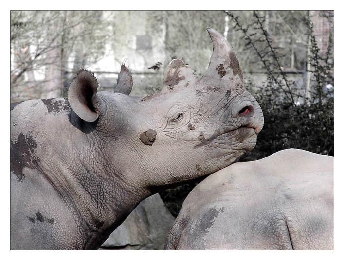Die Liebe der Nashörner