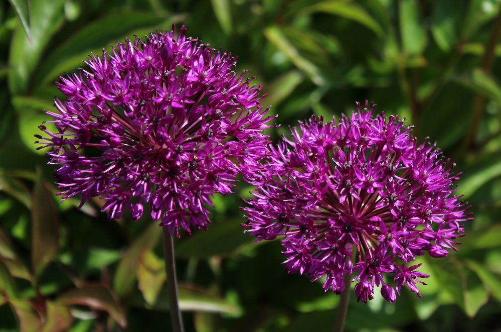 """die lila """"Bälle"""" zieren den Garten"""