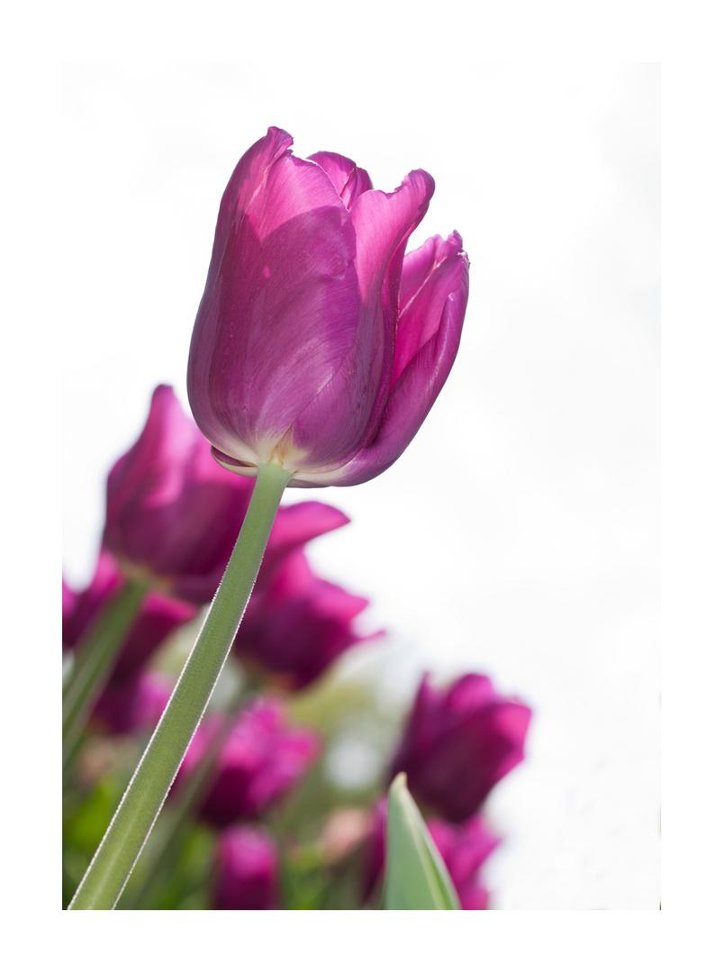 die lila tulpen foto bild tulpen natur pflanzen bilder auf fotocommunity. Black Bedroom Furniture Sets. Home Design Ideas