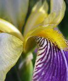 die lilie 2