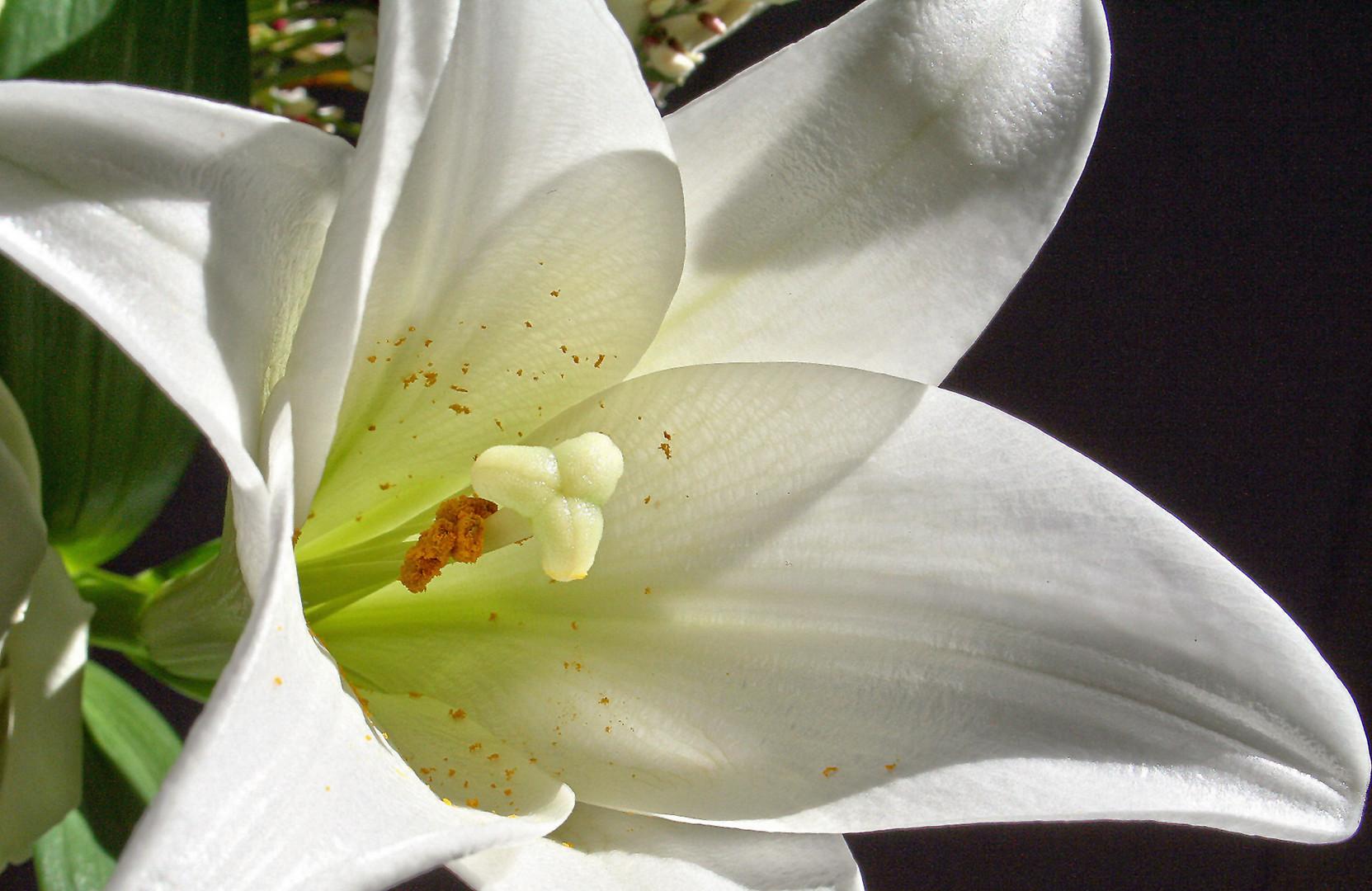 Die Lilie ...