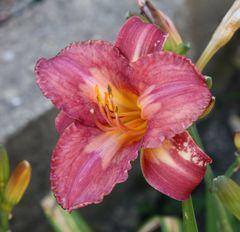 die Lilien dominieren den Garten