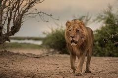 Die Löwen vom Chobe
