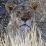 Die Löwin hatte die riesige Elen-Antilope gerissen..