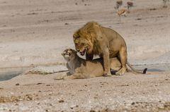 Die Lust der Löwen