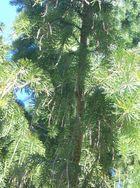 Die Mähnen Tanne- ein Märchenbaum