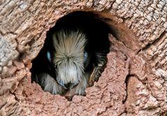 Die männliche Mauerbiene
