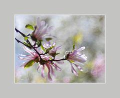 die Magnolienblüten
