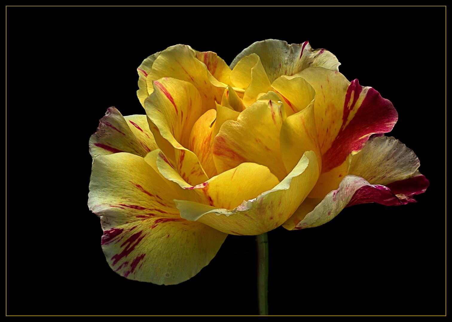 Die Malerrose Maurice Utrillo ist auch Anfang Oktober noch wunderschön