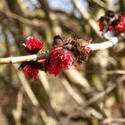 Die Mandelbäumchen blühen