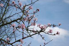 Die Mandelblüte...
