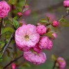 Die Mandelblüten