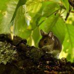 Die Maus auf dem Kirschenbaum