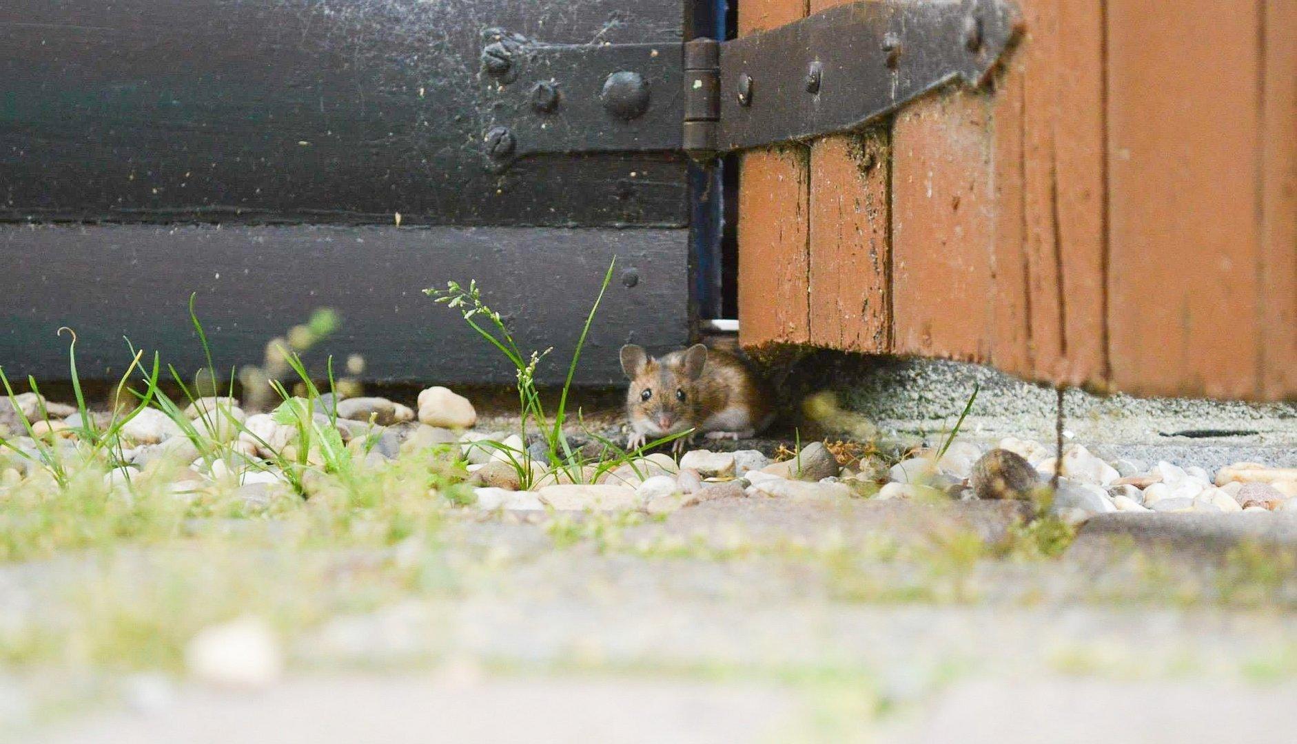 Die Maus im Schuppen