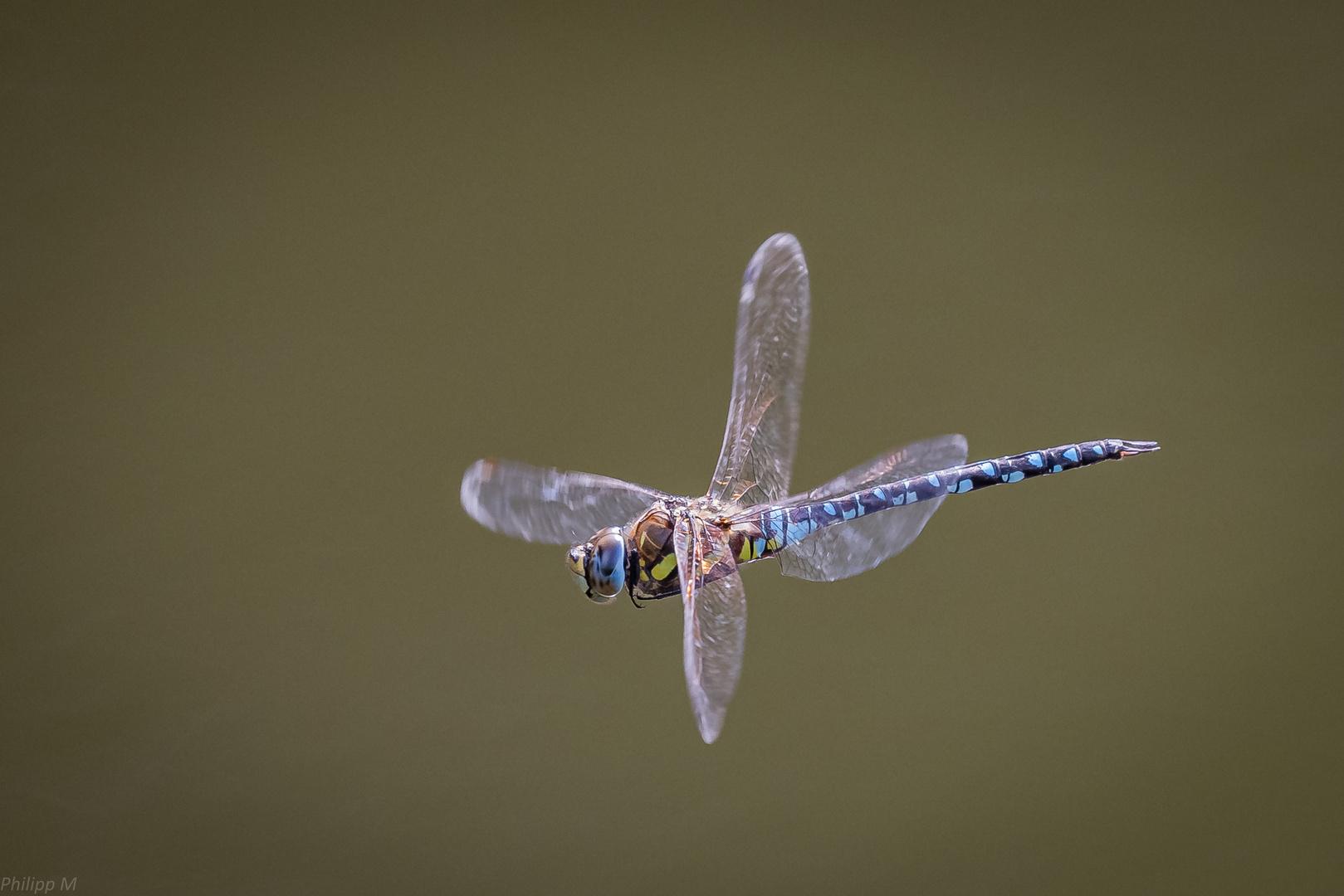 Die mit den perlmuttglitzerartigen Flügeln…