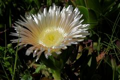Die Mittagsblume als Mittwochsblume