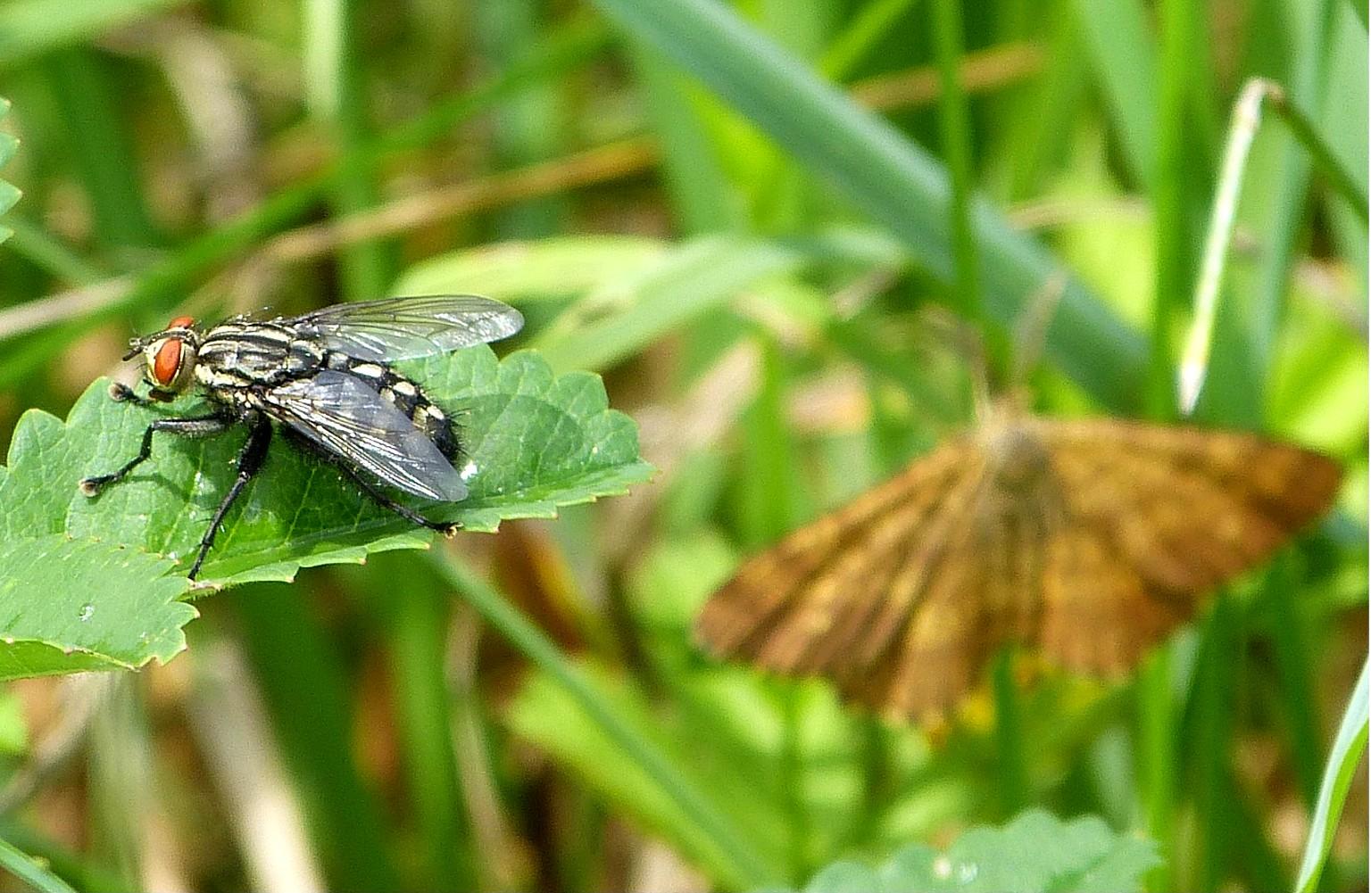 die Mücke