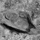 Die Muschel auf Stein