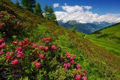 Die Mutter aller Alpenrosenfelder