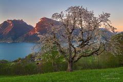 Die Mutter aller Kirschbäume