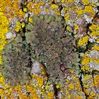 Die Natur sorgt immer für Überraschungen! - Lichen acetabulum, trouvé sur une écorce d'arbre.