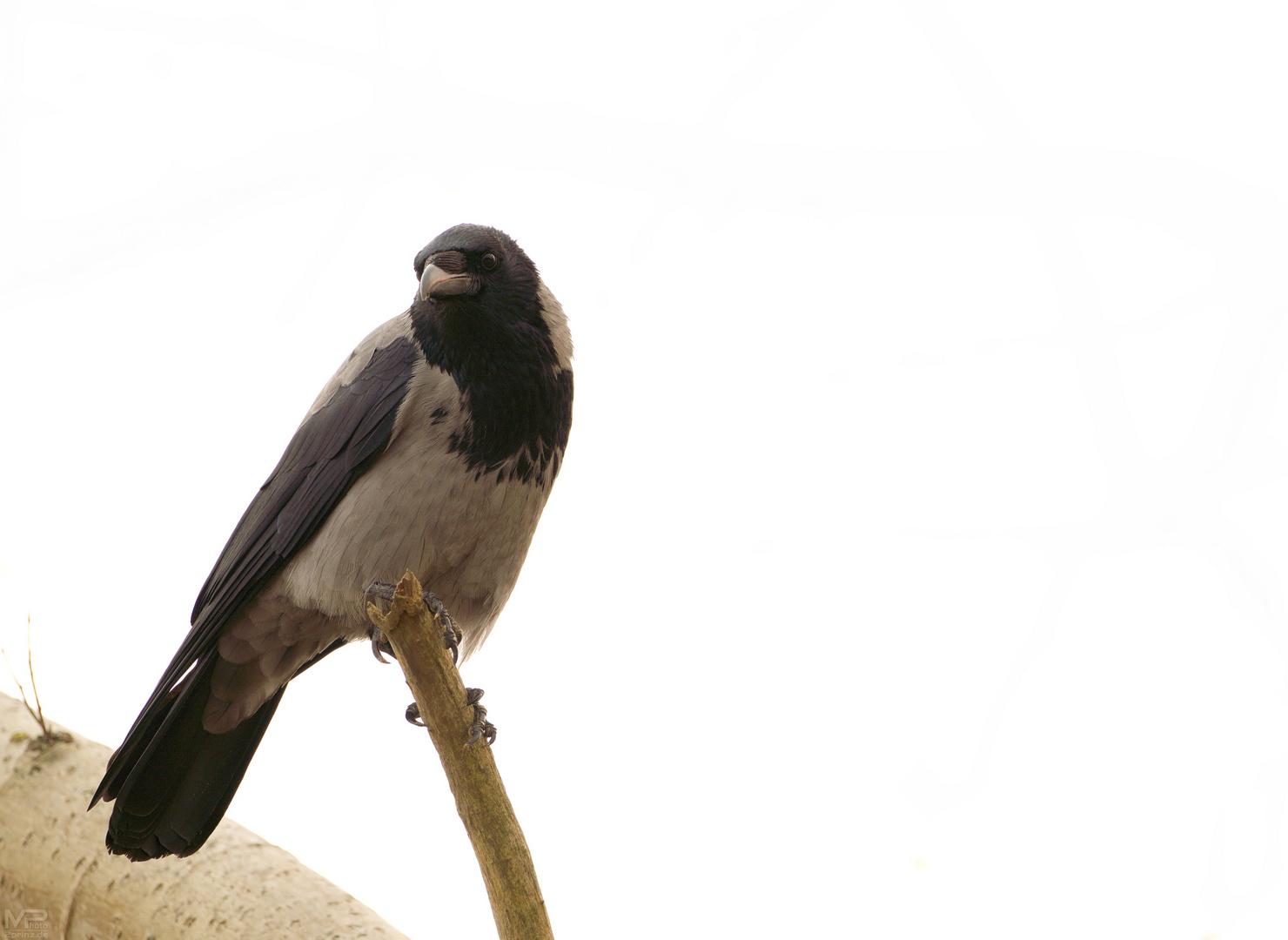 Die Nebelkrähe (Corvus corone)