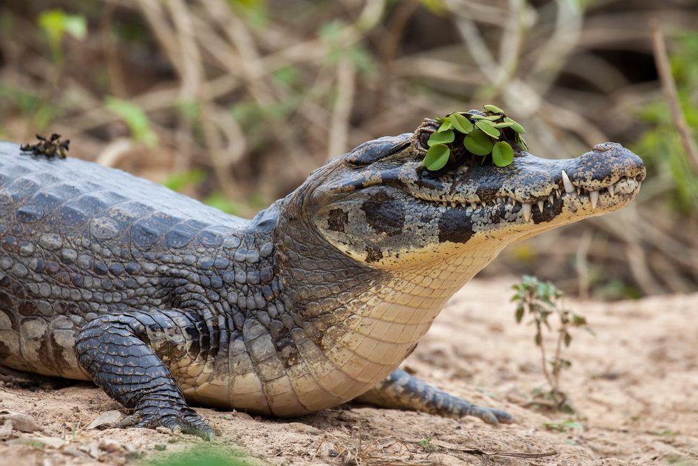 Die neueste Hutmode im Pantanal.